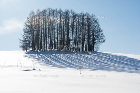 雪の丘の上のカラマツ林 美瑛町 FYI01160583