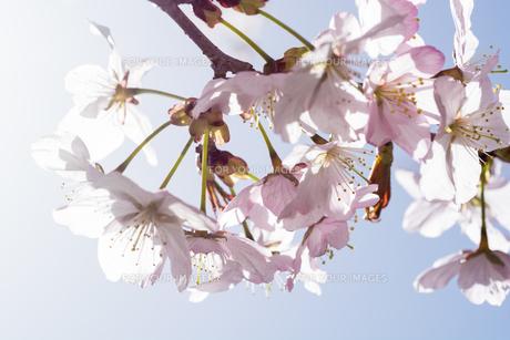 満開のサクラの花 FYI01160882