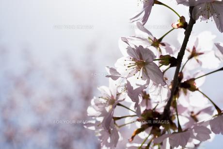 満開のサクラの花 FYI01160883