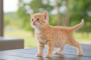 子猫の写真素材 [FYI01165400]