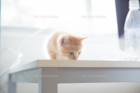 子猫の写真素材 [FYI01165410]