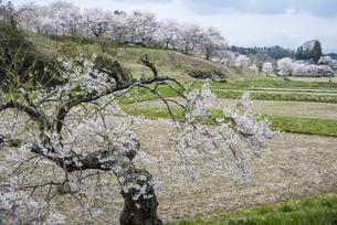 塩ノ崎の桜山 FYI01165656