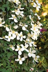 春の花(ハナミズキ) FYI01166593