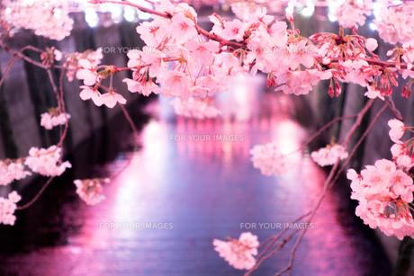 川沿いの夜桜ライトアップ FYI01170277