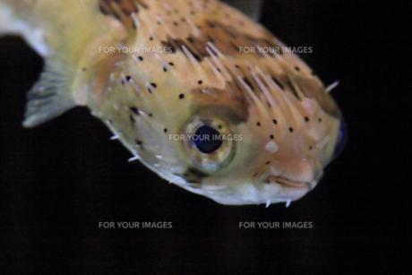 ハリセンボンの顔のアップ魚 Fyi01172414 気軽に使える写真