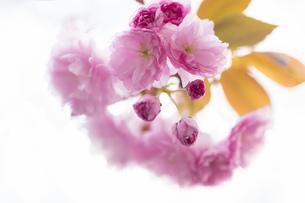 桜 さくら つぼみ 葉 サクラ 花 葉 植物 春 FYI01173912