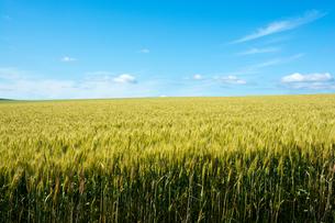 青空とムギ畑 FYI01174123