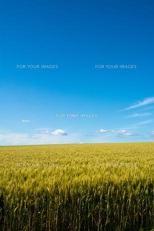 青空とムギ畑 FYI01174124