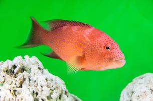 赤い魚の写真素材 [FYI01175284]