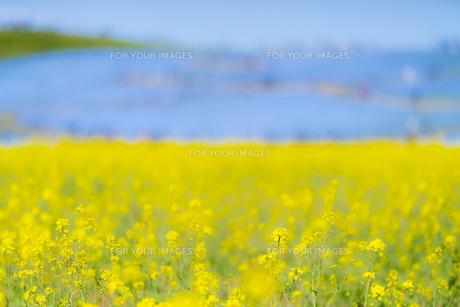菜の花畑 風景 背景 自然 植物 Fyi01175478 気軽に使える