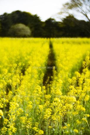 菜の花畑 風景 背景 自然 FYI01175569