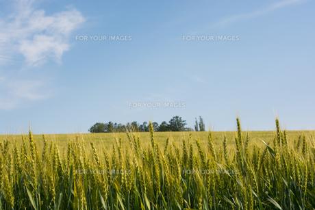 緑のムギ畑と青空 美瑛町 FYI01178478