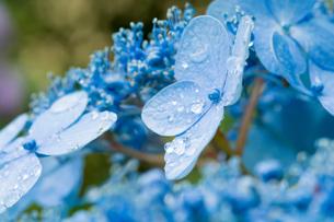 雨上がりのアジサイ FYI01178494