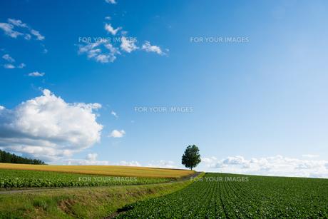 丘の上に立つシラカバの木 FYI01178498