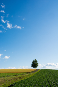 丘の上に立つシラカバの木 FYI01178499
