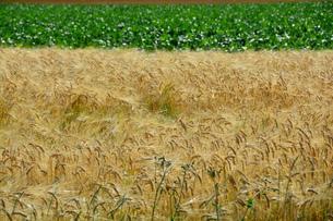 刈り取り間近のムギ畑 FYI01182505