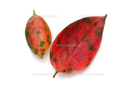 柿の葉落ち葉 Fyi01183298 気軽に使える写真イラスト素材