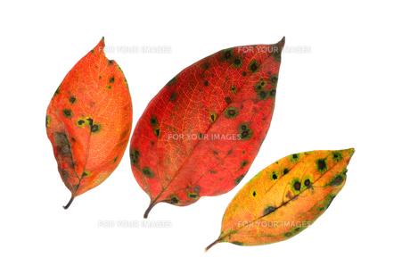 柿の葉落ち葉 Fyi01183302 気軽に使える写真イラスト素材