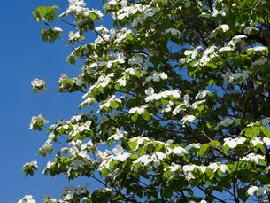 ハナミズキの花 FYI01183355