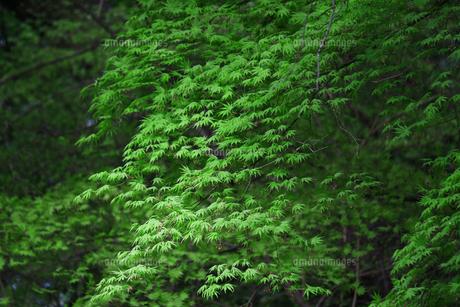 新緑の楓の葉のテクスチャ FYI01199495