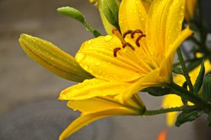 雨の日の花 FYI01200745