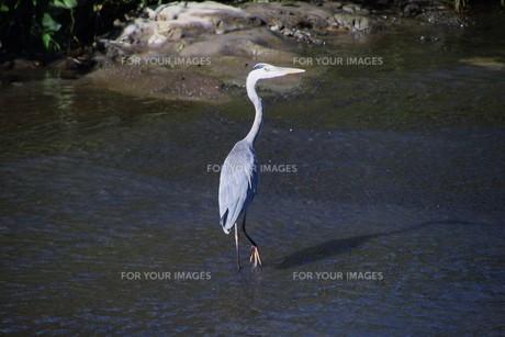 水辺のアオサギの写真素材 [FYI01201937]