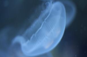 クラゲの写真素材 [FYI01211685]