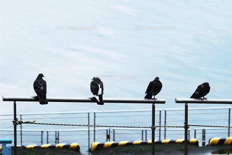 水辺の柵に並んでとまる四羽の鳩 FYI01212709