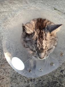 老猫 怪我の写真素材 [FYI01219836]