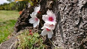 樹木の桜 FYI01224626